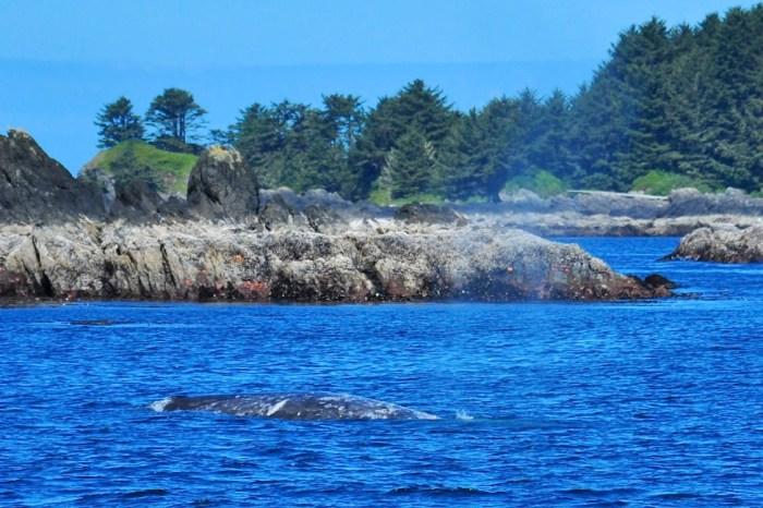Grey whale, winter festivals, tofino, ucluelet, british columbia, whale festival, pacific rim, fun, family