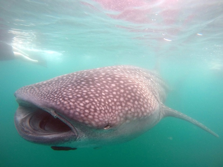 Go to Cabo to See Whale Sharks