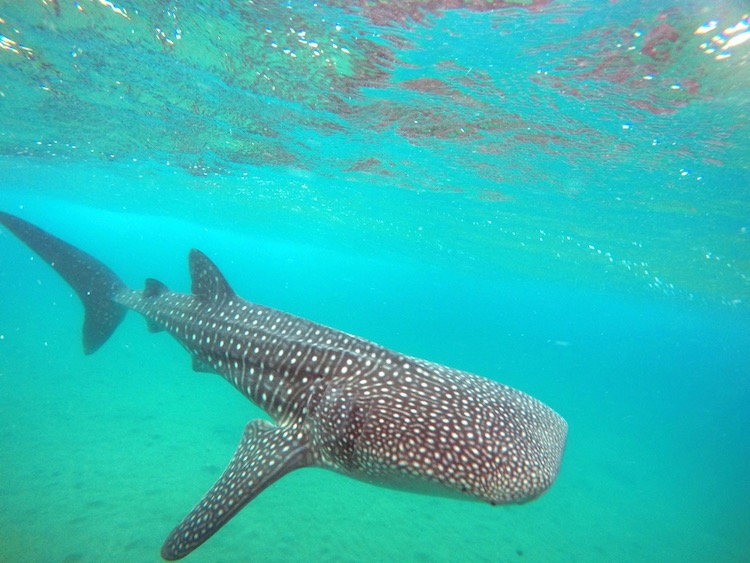 Best Adventures Excursions in Cabo, whale sharks