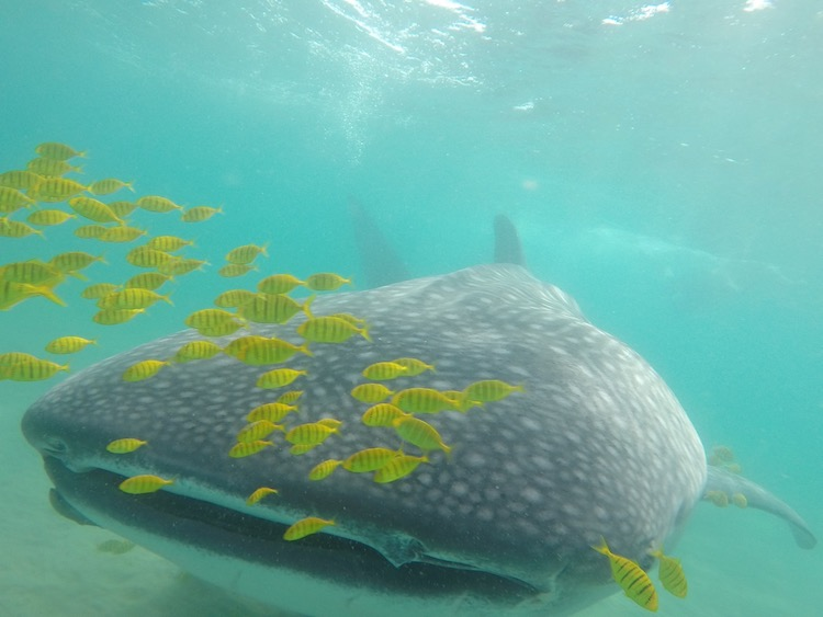 Best Whale Shark Encounter in Cabo, Swimming with Whale Sharks, Best Adventure Excursions in Cabo