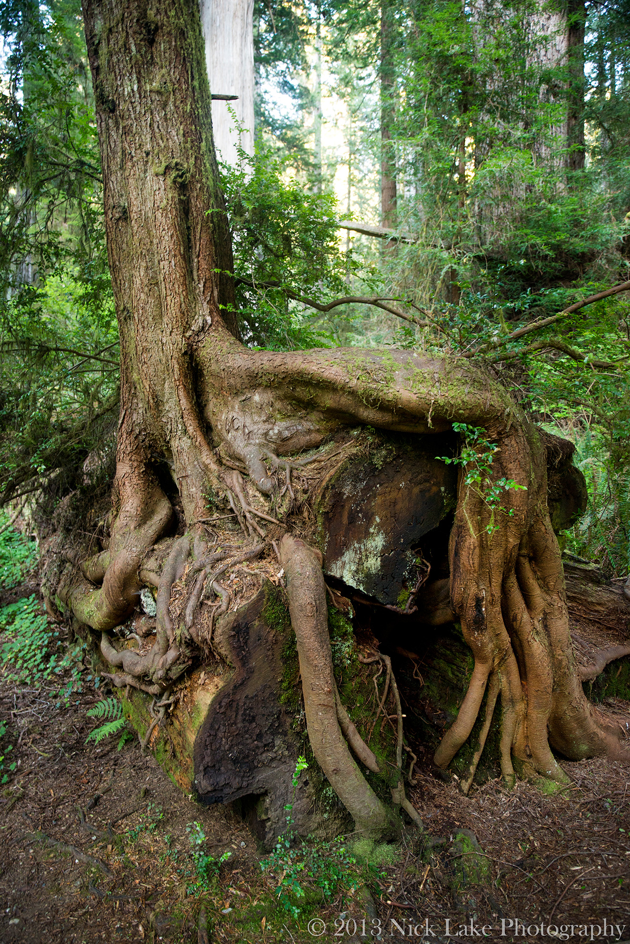 Redwoods are so large that smaller trees often grow on top of them