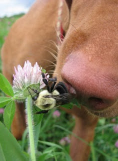 dog sniffing bee