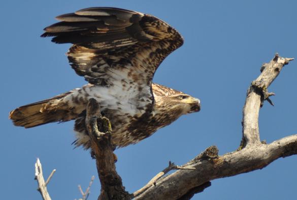 Juv Eagle Taking Flight