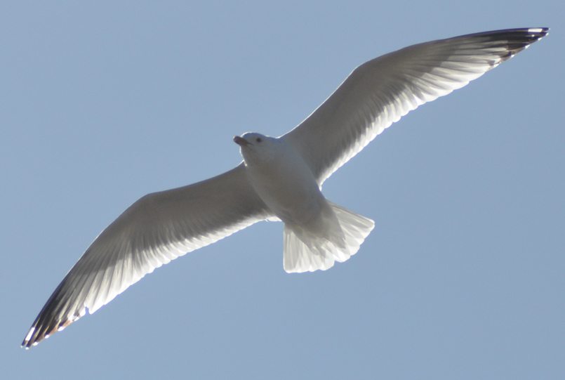 Gull from the Heavens