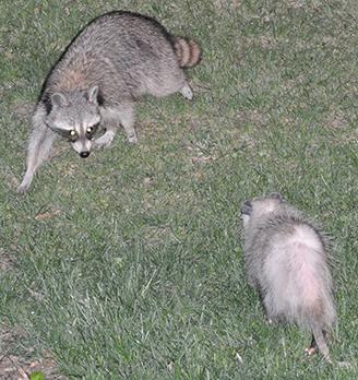 Raccon and Possum Standoff