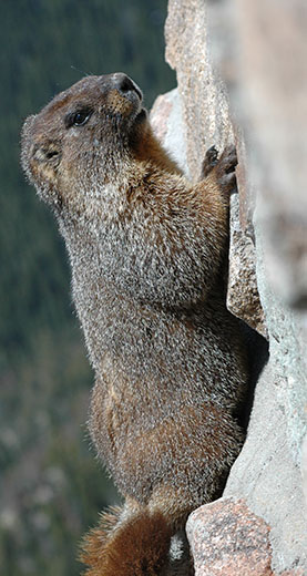 Yellow-Bellied Marmot - Evil Gaze