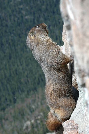 Yellow-Bellied Marmot - Hanging on a rock cliff