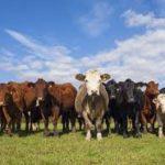 dreams about cows