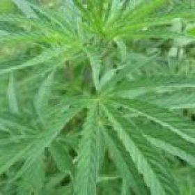 Chirata Leaves