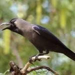 crow dream meaning
