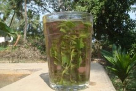 guava leaves extract