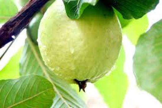 Guava family
