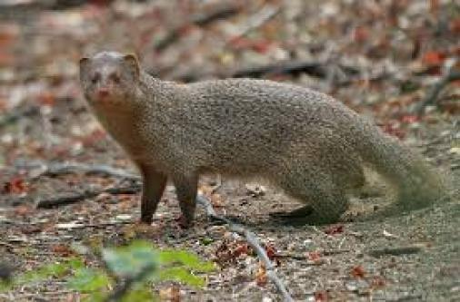 Mongoose Dream meaning