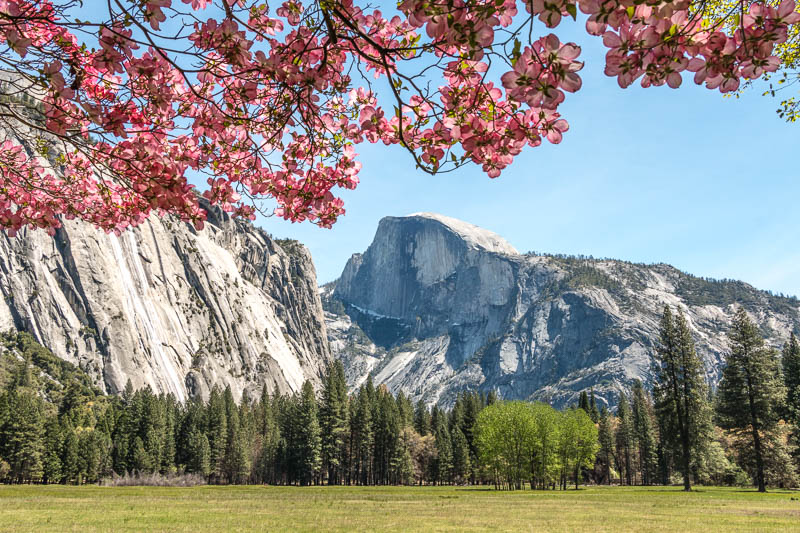 Half Dome and pink dogwood blossoms