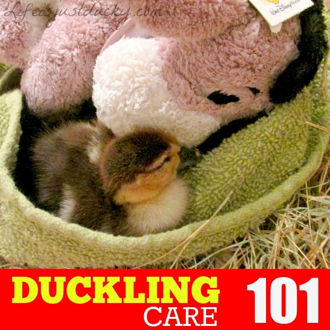 Raising Ducks - 101 Duckling Care - Life Is Just Ducky