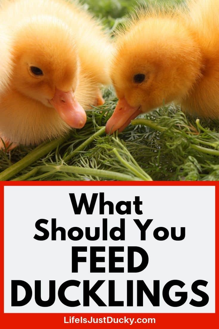 What To Feed Ducklings! - Life Is Just Ducky