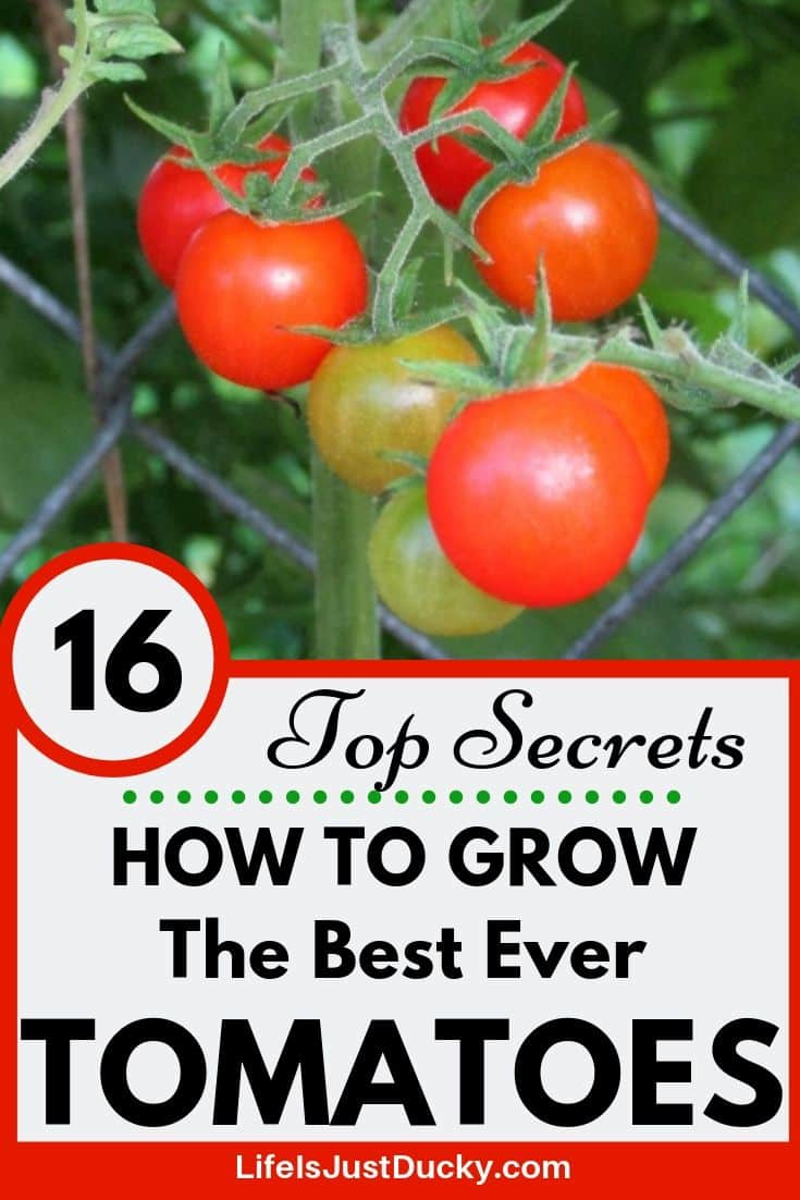 16 Top Secrets for Growing Great Tomatoes - Life Is Just Ducky