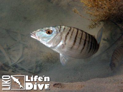 01-Marmorbrasse-Lithognathus-mormyrus