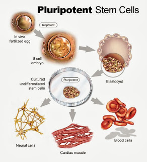 Adult Stem Cell Research Breakthrough Could Lead to