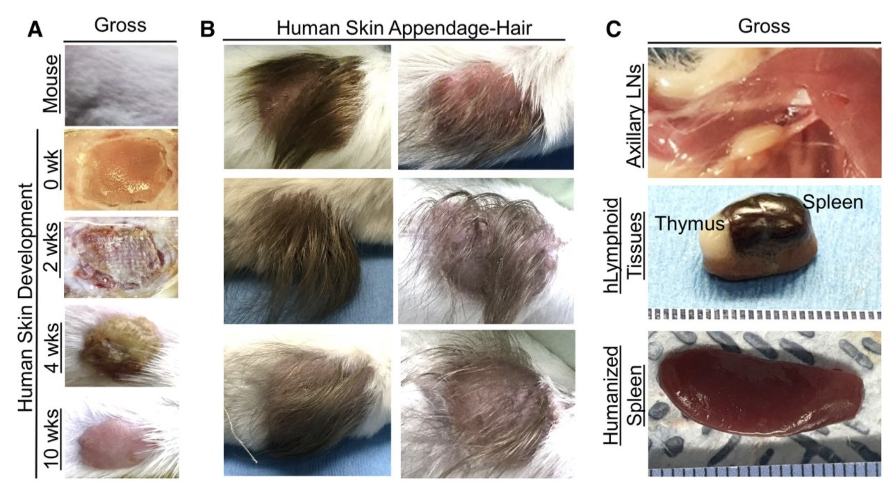 """Scientists Use Scalps From Aborted Babies to Create """"Humanized Mice"""" for Research"""