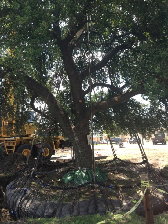 positioning and rotating the live oak tree