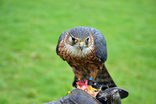 A Falcon at the Hawk Conservancy