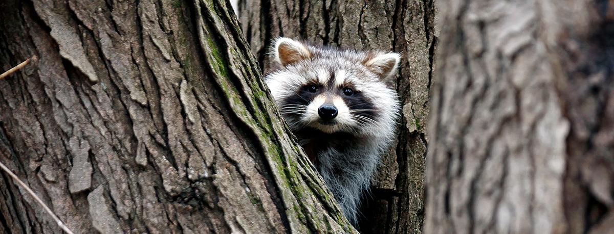 Raccoon - photo from AP