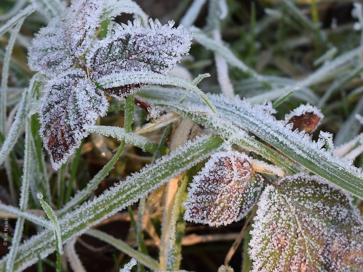 Frosty Bramble