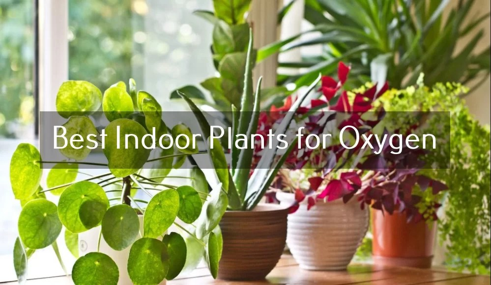 Best Indoor Plants for Oxygen and Air-Purifying
