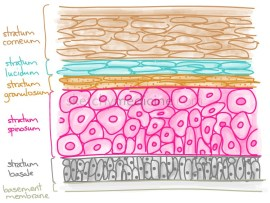5 Layers of Epidermis - Skin Cell Life