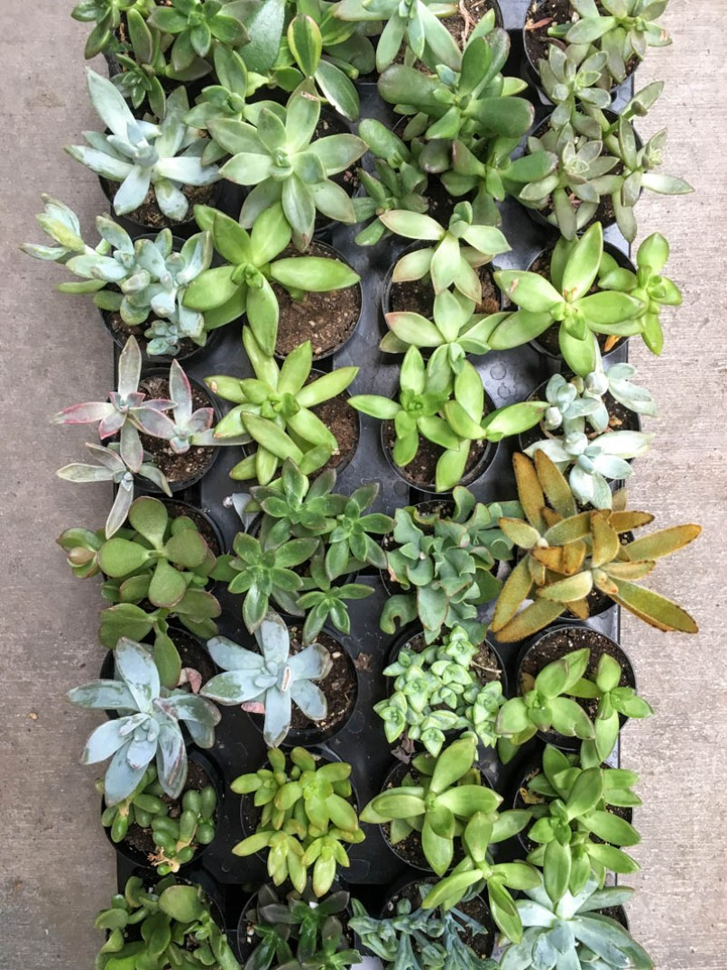 Planting Succulents in Containers