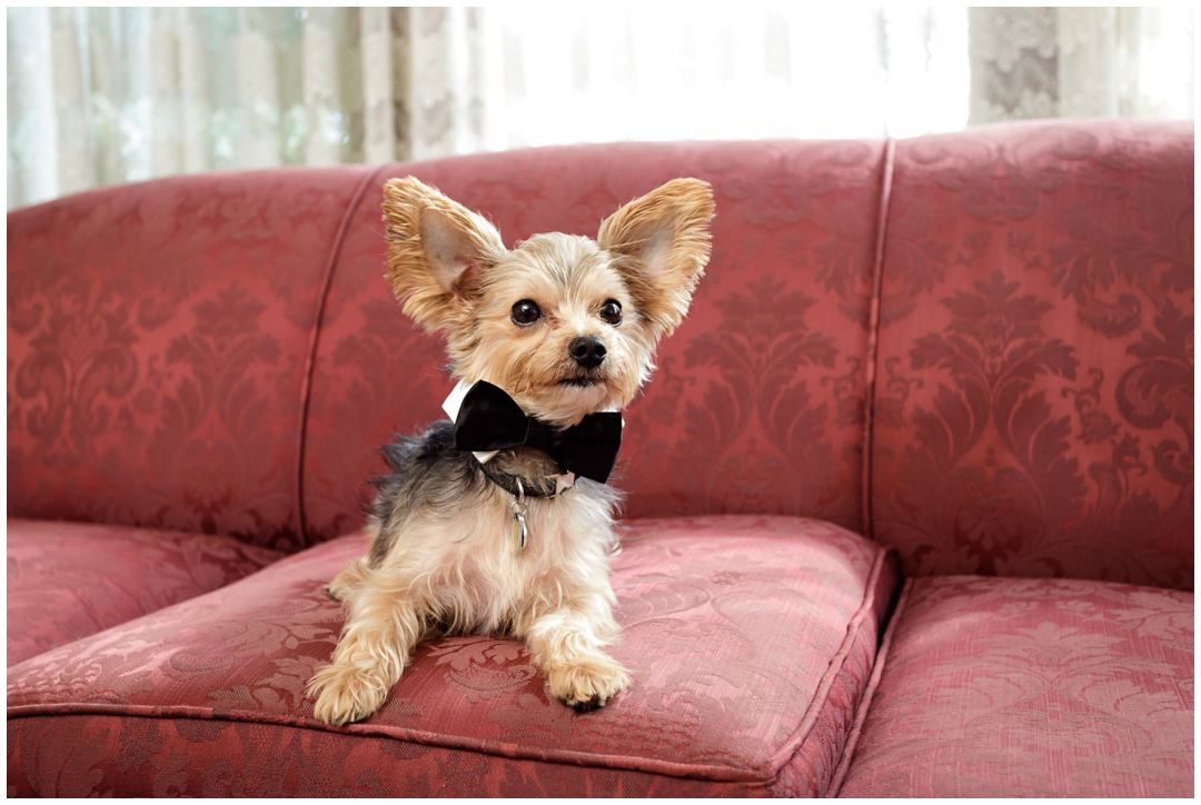 puppy with bowtie ringbearer