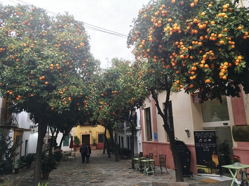 Orange trees in Seville, Spain