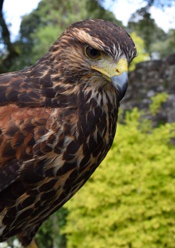 Hawk or Falcon at Ashford CAstle in Ireland