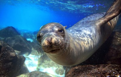 Galapogos Sealion underwater