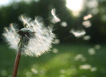 dandelion pollen allergens