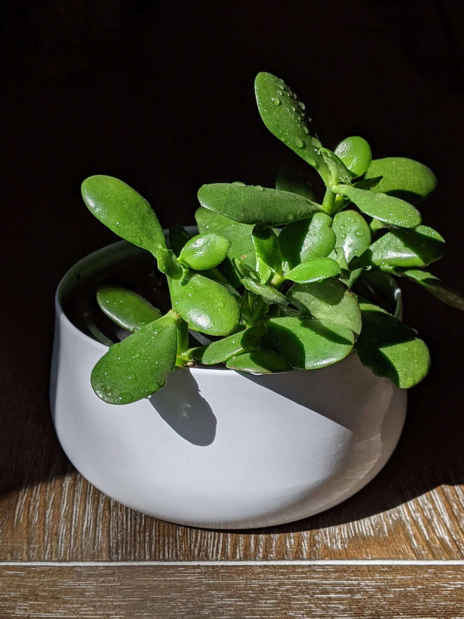 Jade Plant- Tips and Tricks to growing the healthy plant