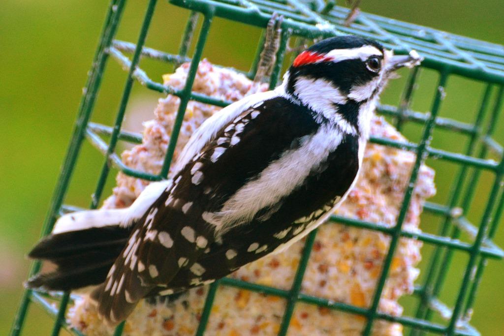A Woodpecker Drops By