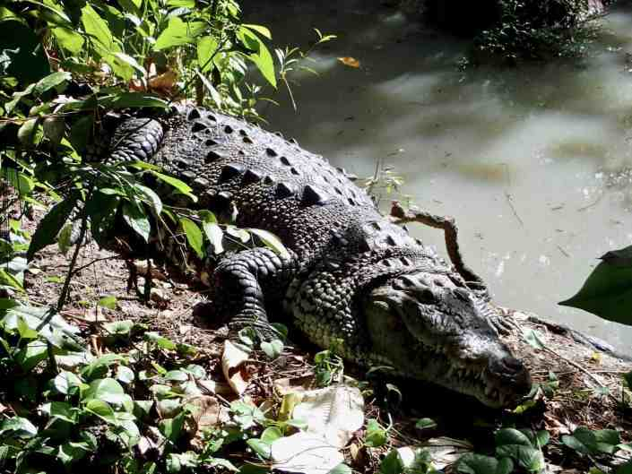 Bicycle touring through Belize - Crocodile at Belize Zoo