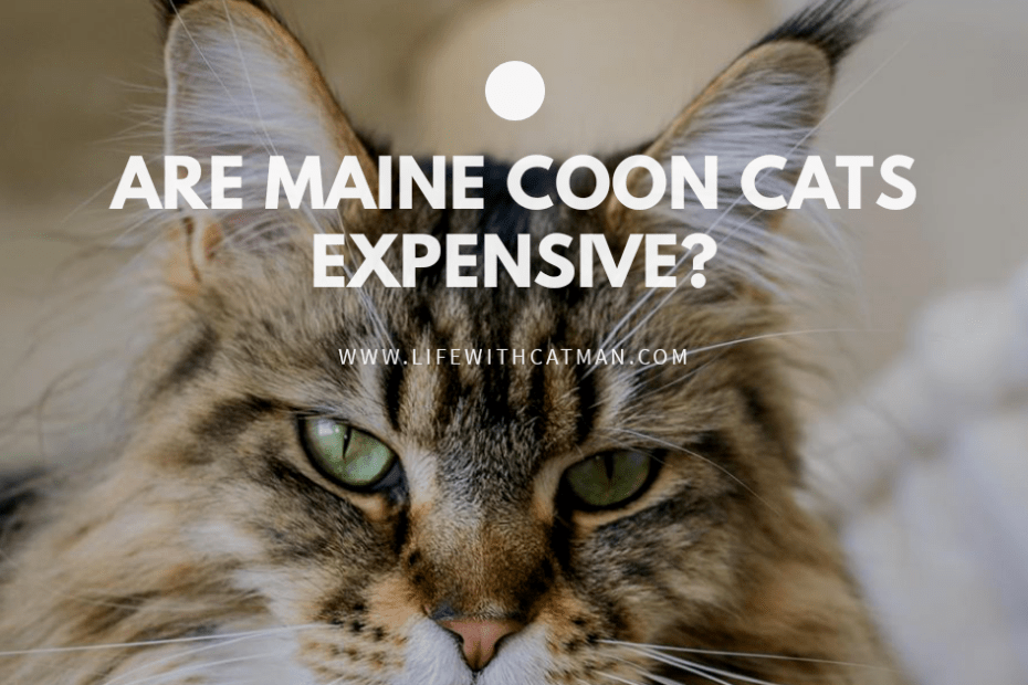 are maine coon expensive
