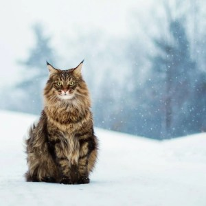 maine coon expensive