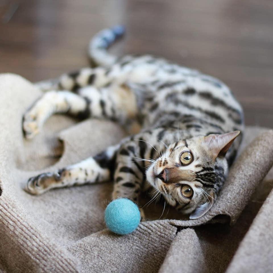 bengal cats