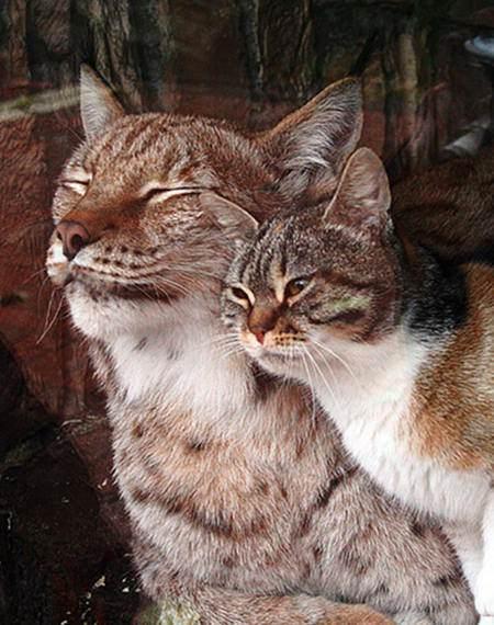 stray cat love lynx