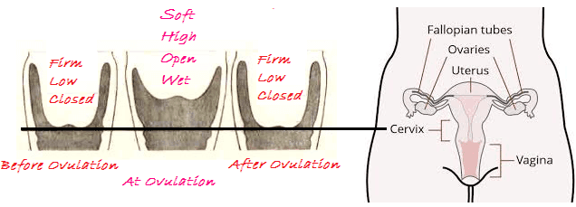 when do you ovulate cervical position