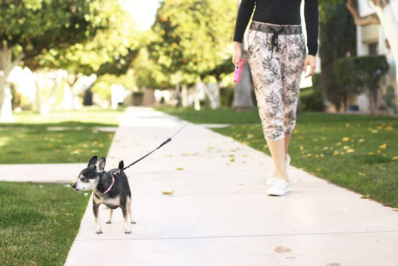 chihuahua outside | how to stay energized as a mom