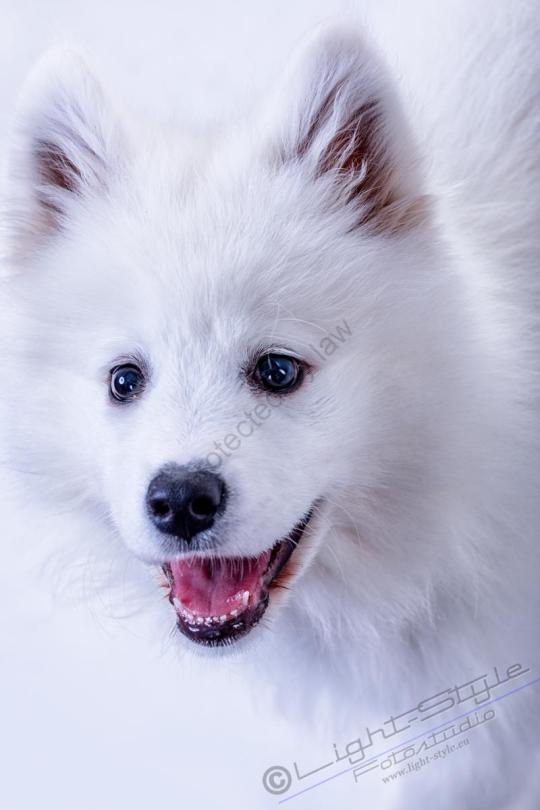 Hundeporträt Fila 1 - Hundeporträt - Fila-1 - tierportraets, allgemein -