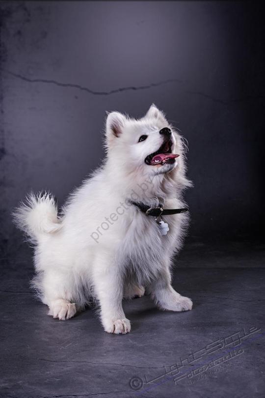 Hundeporträt Fila 12 - Hundeporträt - Fila-12 - tierportraets, allgemein -