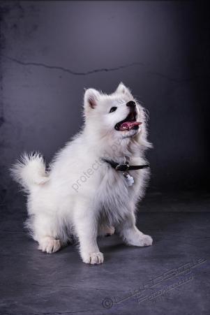 Hundeporträt - Fila-12