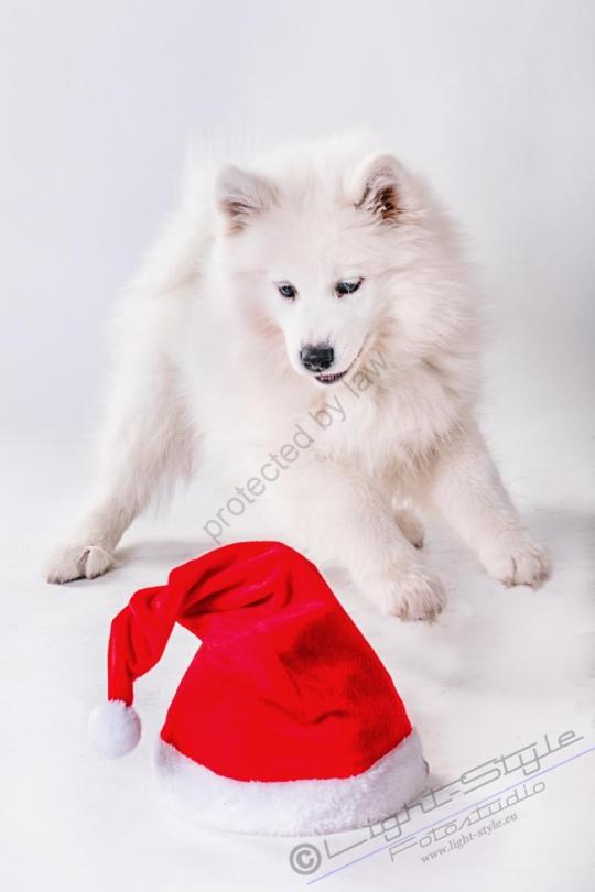 Hundeporträt Fila 18 - Hundeporträt - Fila-18 - tierportraets, allgemein -