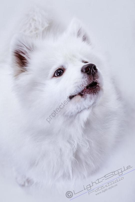 Hundeporträt Fila 20 - Hundeporträt - Fila-20 - tierportraets, allgemein -